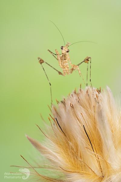 Cryptic mantis by Angi_Wallace