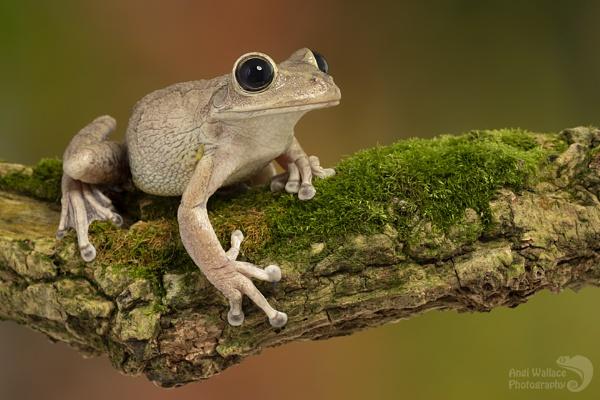 Cuban tree frog by Angi_Wallace