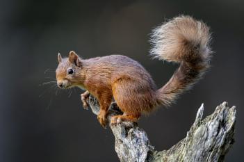 Bushy Tail