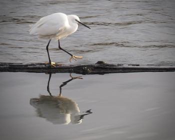 Essex Egret