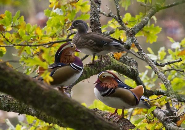 Mandarin ducks by slab