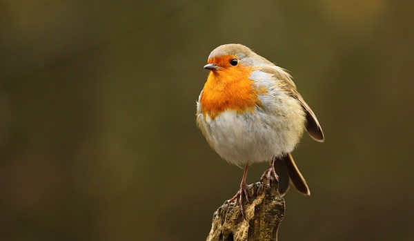 Puffed up Robin by Len1950