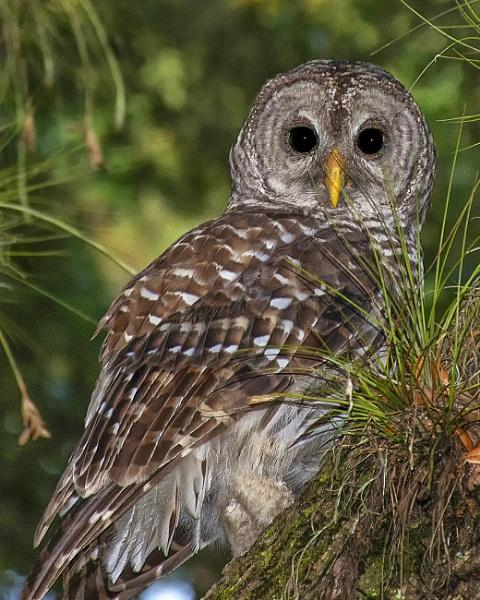 Barred owl by jbsaladino