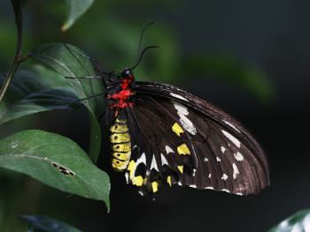 A Female Cairn's Birdwing (Orithoptera priamus)