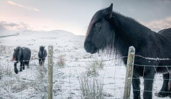 Winter Ponies.