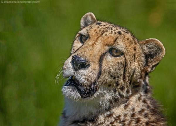 Cheetah by brian17302