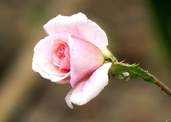 Miniature Pink rose by Hermanus