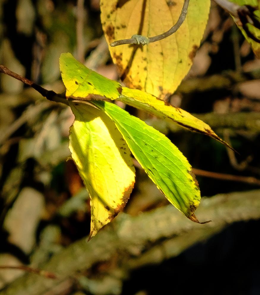 Last of Autumnal leaves