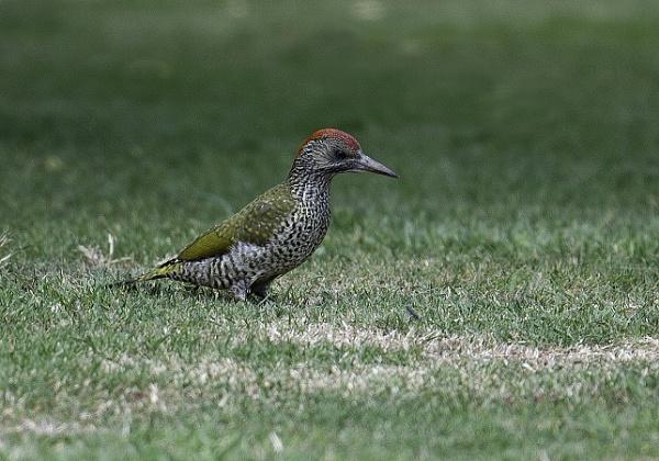 Green Woodpecker by 10delboy