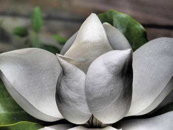 white magolia at ness