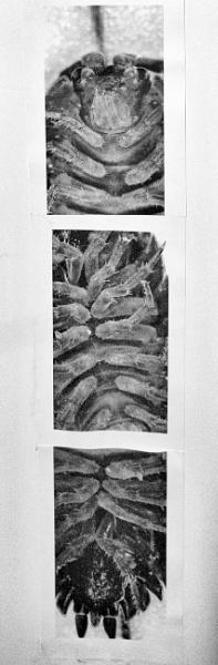Pill Bug (micrograph) by DonSchaeffer