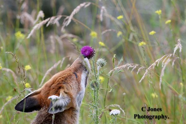 Fox  ( Sweet smell of summer.) by cjones