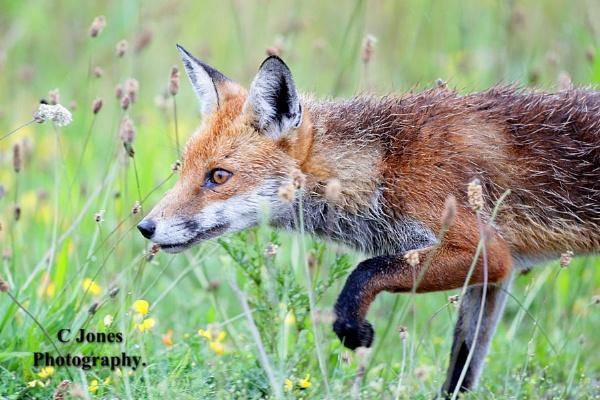 Fox . by cjones