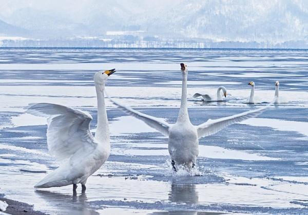 Whooper swans in Lake Kussharo-Ko by hannukon
