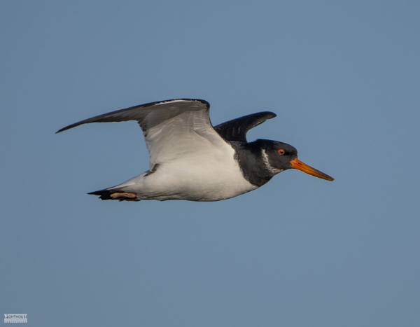 Oyster Catcher in flight by LighthousePhotography