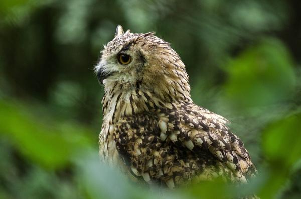Owl by ssf1957