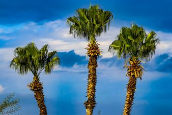 Three palms on a stormy day