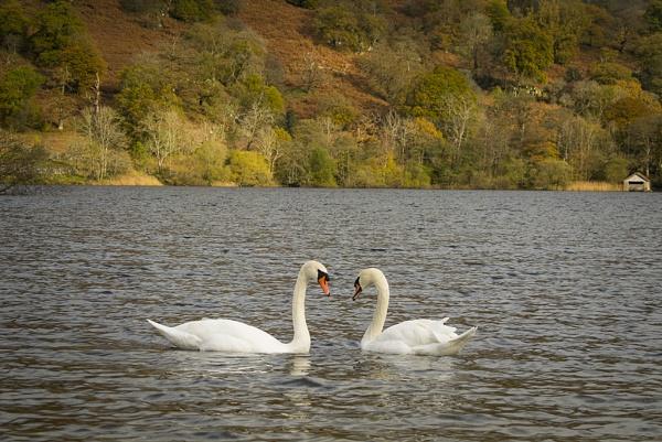 swans by KieranW