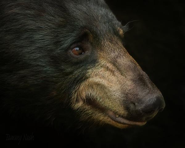 Beautiful Black Bear by TammyN