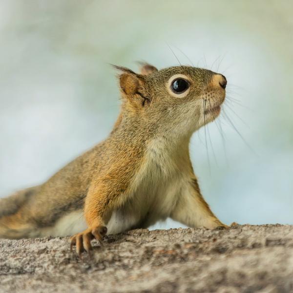 Red Squirrel by TammyN