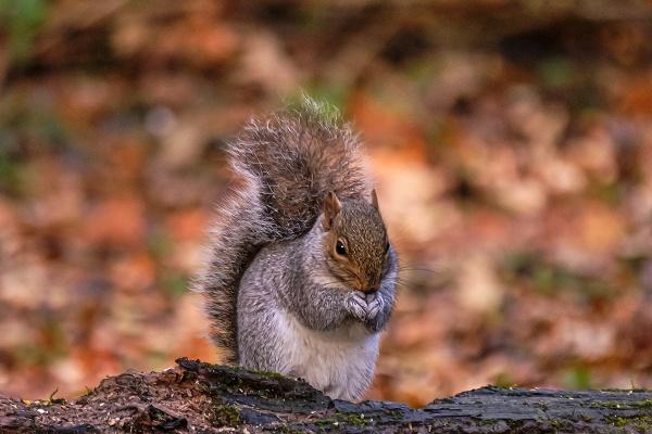 Autumnal Grey Squirrel by photographerjoe