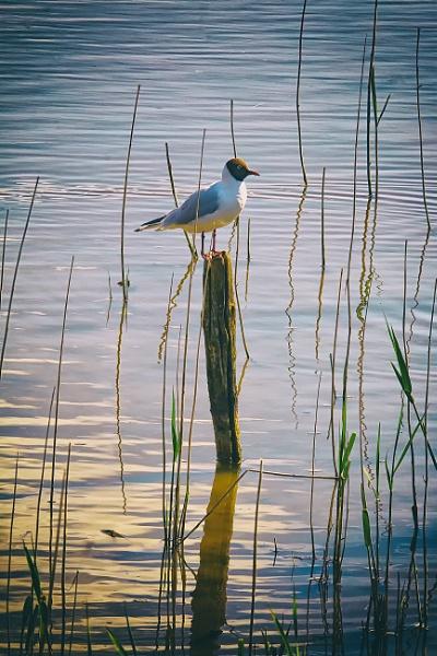 Gull sunbathing by frenchie44