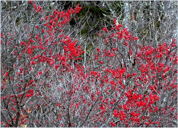Winterberry by Joline