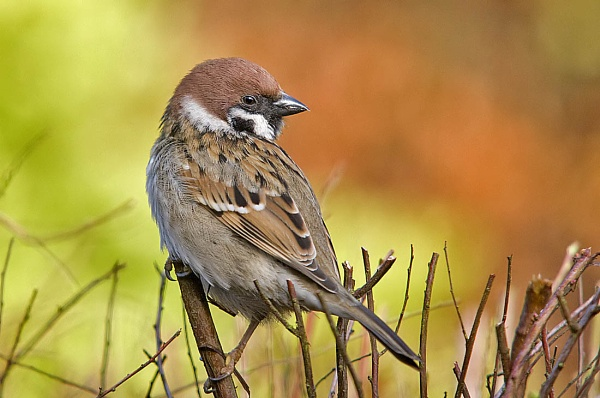 A Tree Sparrow by johnsd