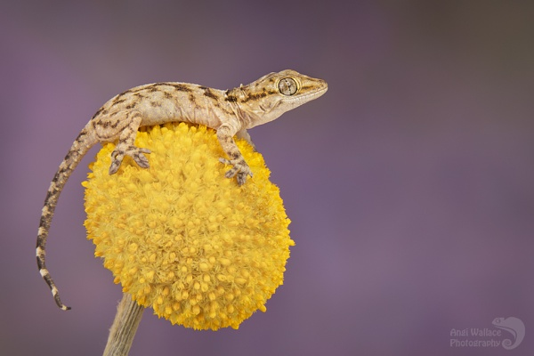 Annulated gecko by Angi_Wallace