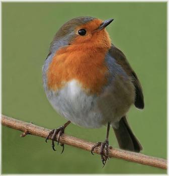 An early Christmas Robin