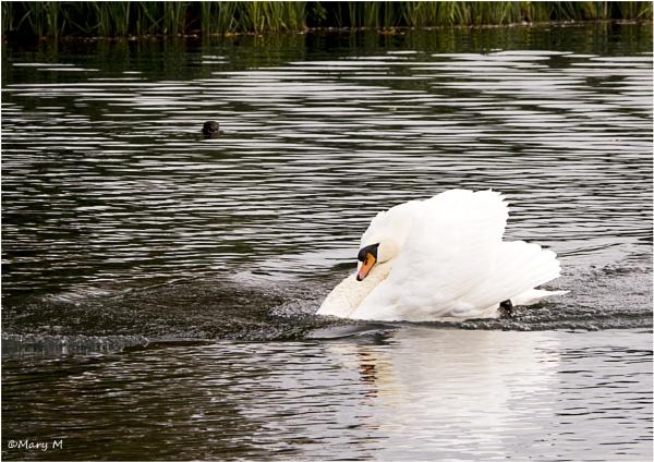 Angry Swan by marshfam19