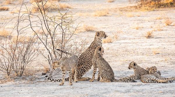 Cheetahs Namibia by rontear
