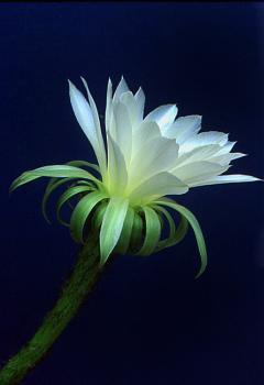 Echinocereus flower