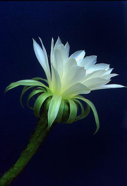 Echinocereus flower by TonyDy