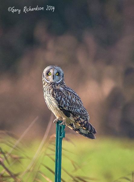 short-eared owl by djgaryrichardson