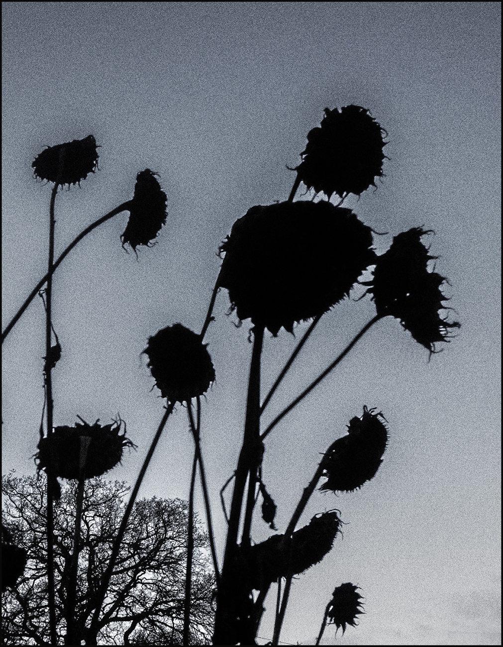 sculptural   sunflower heads in December