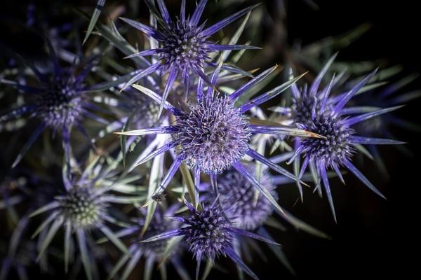 Spiky Blue by rolandcarlin