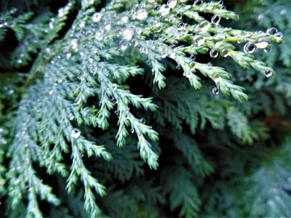 fir tree by jenny007