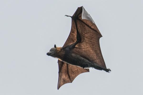 Flying fruit bat by Photoseeker