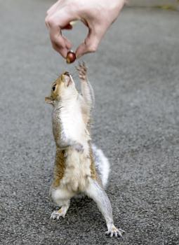 Squirrel Grey  Feeding time