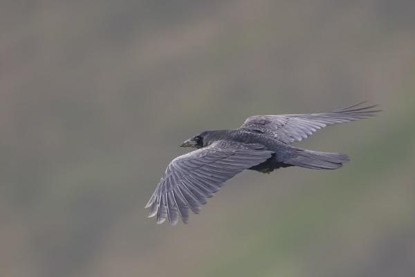 Raven by robert61