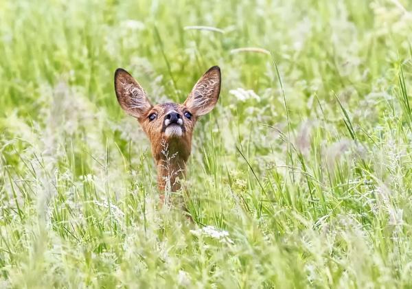 Roe Deer in Espoo by hannukon