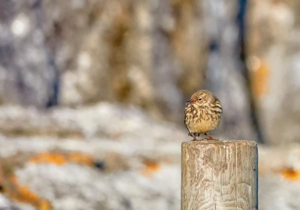 Rock pipit in Norrskär by hannukon