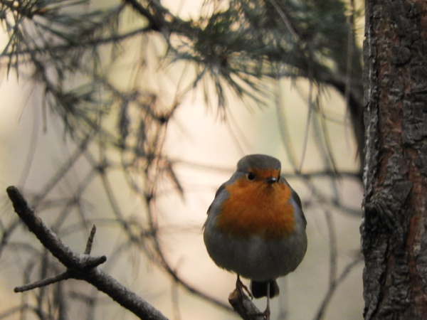 Good morning Mr Robin by Chelle65