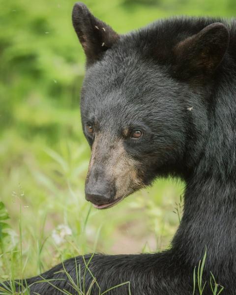 Black Bear  by TammyN