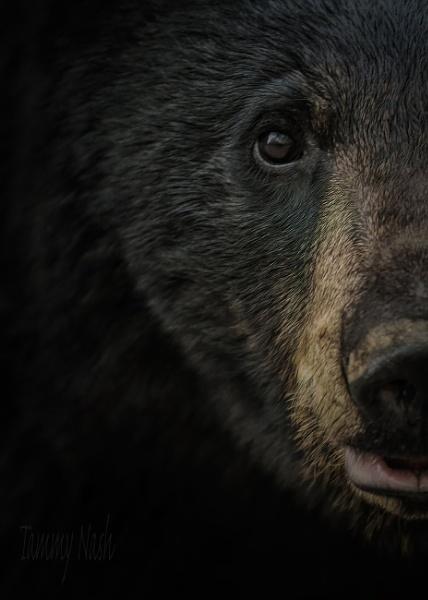 Portrait of Black Bear by TammyN