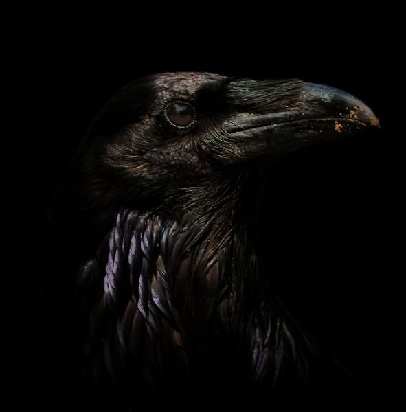 Raven by TammyN
