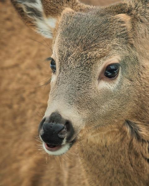 Deer by TammyN