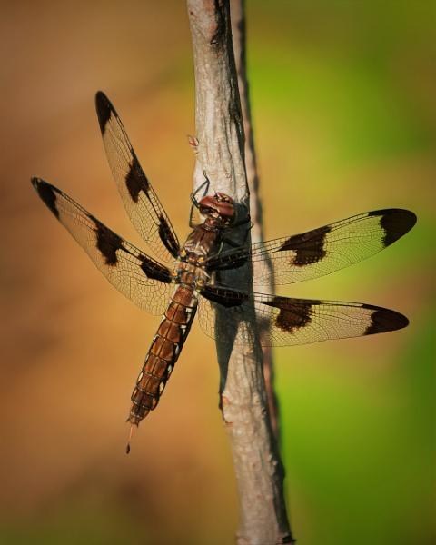 dragonfly by TammyN