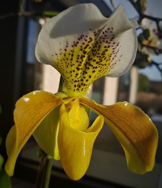 Slipper Orchid by rosej